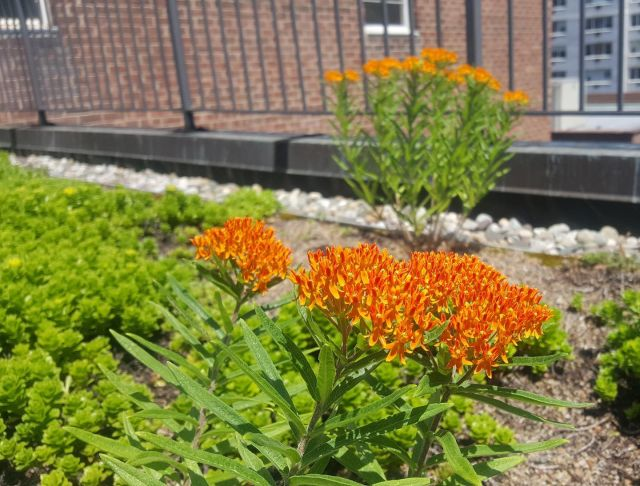 Peter took some butterfly milkweed seeds from the #playscape downstairs and planted them in bare spots on this extensive #greenroof a few floors up!
