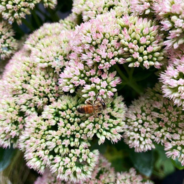 This fall-blooming sedum 'autumn fire' is about to explode with color. Meanwhile, a NYC based honeybee is trying to get its first bit of nectar…   Is the same as when we eat unripened fruit? #deepthoughts