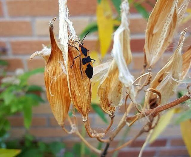 Did you plant milkweed last year hoping to attract the magnificent monarch, only to have hoards off OTHER orange insects show up instead? Feeling wary of trying milkweed again? Read about milkweeds other common (and mostly harmless) 6-legged residents at the link in our bio.